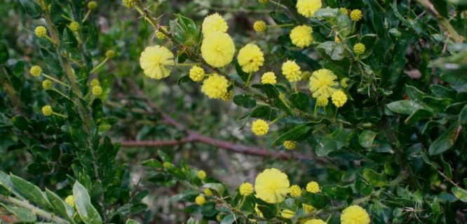 Acacia paradoxa (Hedge Wattle) by Arthur Chapma is licensed under CC BY-NC-SA-2.0