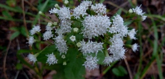 Ageratina riparia by eleanord43 is licensed under CC BY-NC-2.0