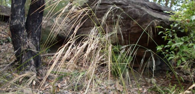 Speargrass by John Tann is licensed under CC BY-2.0
