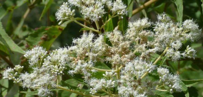 Chilco blanco Austroeupatorium inulaefolium) by Alejandro Bayer is licensed under CC BY-SA-2.0