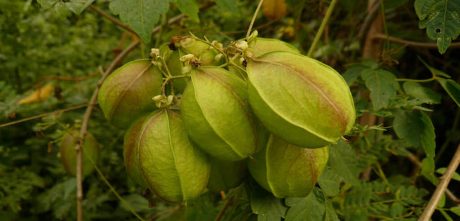 Cardiospermum grandiflorum fruits by IITA Image Library is licensed under CC BY-NC-2.0