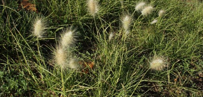 Cenchrus longisetus plant3 by Macleay Grass Man is licensed under CC BY-2.0