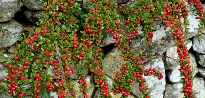 Wall and berries Cotoneaster glaucophyllus by WayShare is licensed under CC BY-ND-2.0