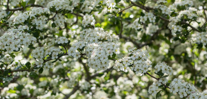 Hawthorn in Spring by DanielaC173 is licensed under CC BY-SA-2.0