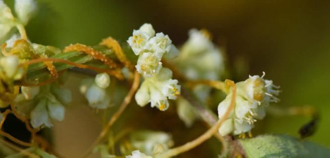 Dao 66634_平原菟絲子 Cuscuta campestris Convolvulaceae 旋花科 by mutolisp is licensed under CC BY-NC-SA-2.0