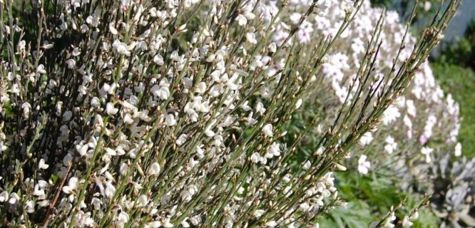 Cytisus multiflorus by FarOutFlora is licensed under CC BY-2.0
