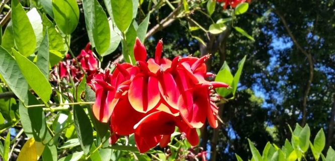 Erythrina crista galli KurodaField Waikiki Cutler by wlcutler is licensed under CC BY-SA-2.0