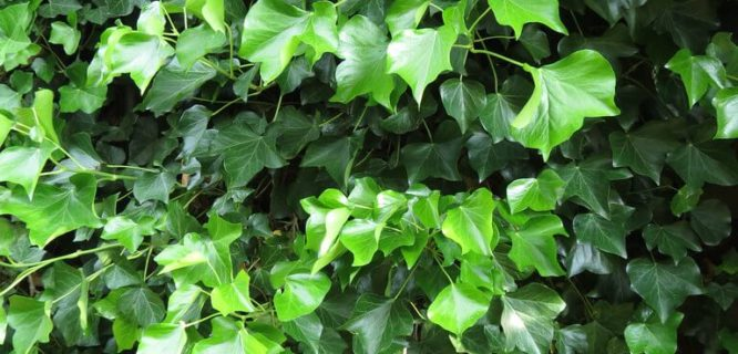 Hedera helix by dhobern is licensed under CC BY-2.0
