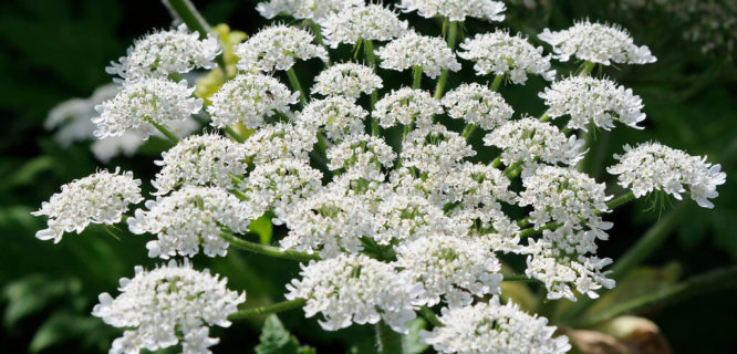 Giant Hogweed Flower Umbel by NYS Department of Environmental Conservation is licensed under CC BY-NC-ND-2.0