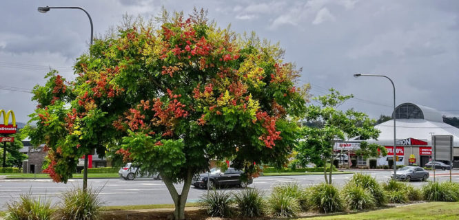 Chinese Rain Tree Koelreuteria in Brisbane by Tatters ✾ is licensed under CC BY-SA-2.0