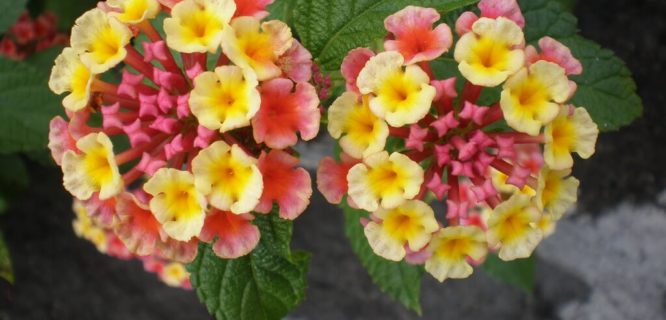 Lantana camara ('Spanish-flag') flowers by Joel Abroad is licensed under CC BY-NC-SA-2.0