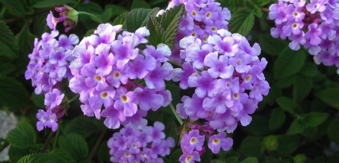 Purple Lantana July 2019 by JJG53 is licensed under CC BY-NC-ND 2.0