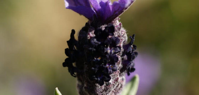 Lavandula stoechas flower by bathyporeia is licensed under CC BY-NC-ND-2.0