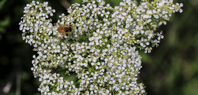 Lepidium draba by Sauntering Photographer is licensed under CC BY-ND-2.0