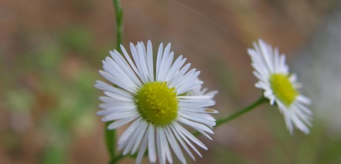 Oxeye Daisy by Thiophene_Guy is licensed under CC BY NC-SA-2.0