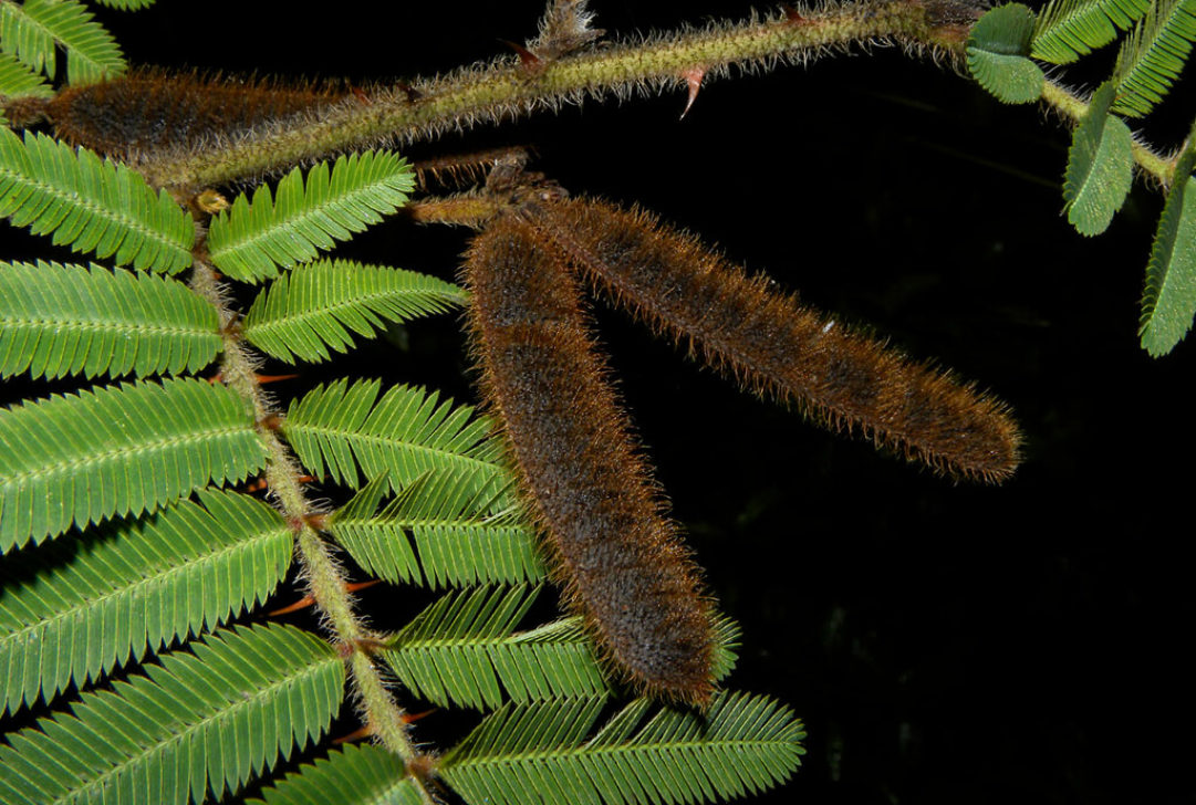 Mimosa pigra L by Reinaldo Aguilar is licensed under CC BY-NC-SA-2.0