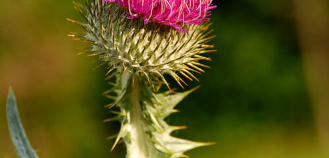 scotch thistle by paul+photos=moody is licensed under CC BY-NC 2.0