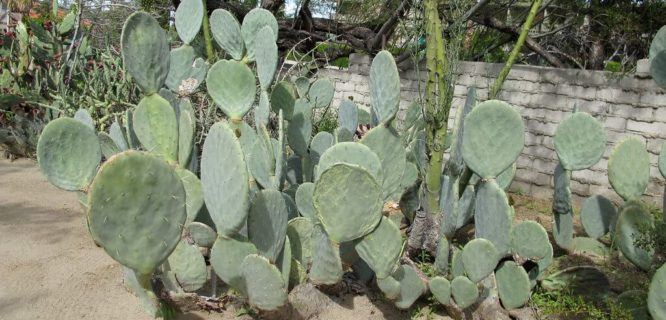 Opuntia robusta by Megan E Hansen is licensed under CC BY-SA-2.0