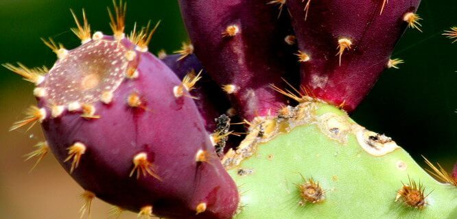 Opuntia by M. Martin Vicente is licensed under CC BY-2.0