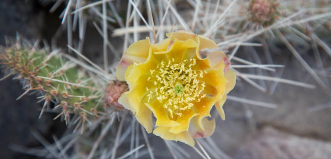 Opuntia streptacantha by terrebonnegerald is licensed under CC BY-NC-2.0