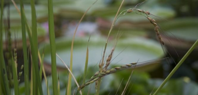 Oryza rufipogon by Fluffymuppet is licensed under CC BY-NC 2.0