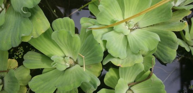 Water lettuce by Fluffymuppet is licensed under CC BY-NC 2.0