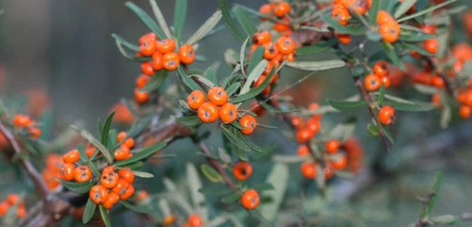 Pyracantha angustifolia (Firethorn) - weed by Arthur Chapman is licensed under CC BY-NC-SA 2.0