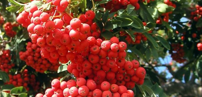 Bountiful Chinese Firethorn by Gemma Grace is licensed under CC BY-NC 2.0