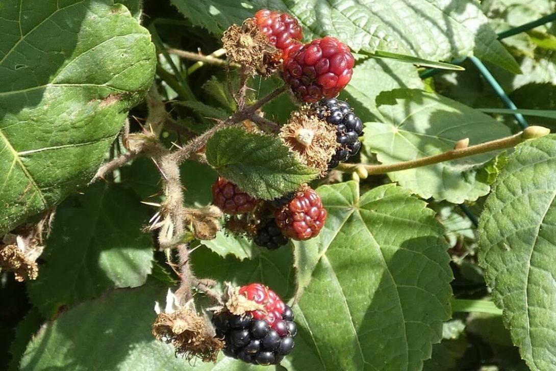 Blackberries by Linda DV is licensed under CC BY-NC-ND-2.0