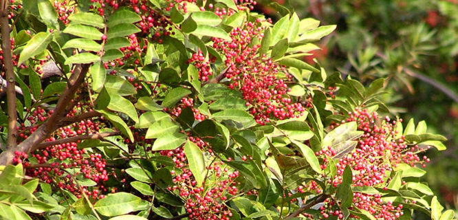 Schinus terebinthifolius (Brazilian peppertree) Plant to Watch by PlantRight1 is licensed under CC BY 2.0
