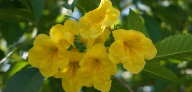 Tecoma Stans (Yellow Elder) by TreeWorld Wholesale is licensed under CC BY 2.0