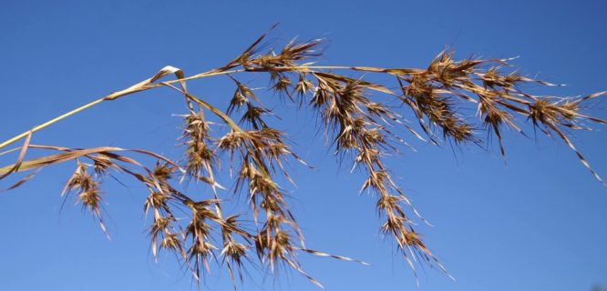 Themeda quadrivalvis.jpg by Macleay Grass Man is licensed under CC BY 2.0