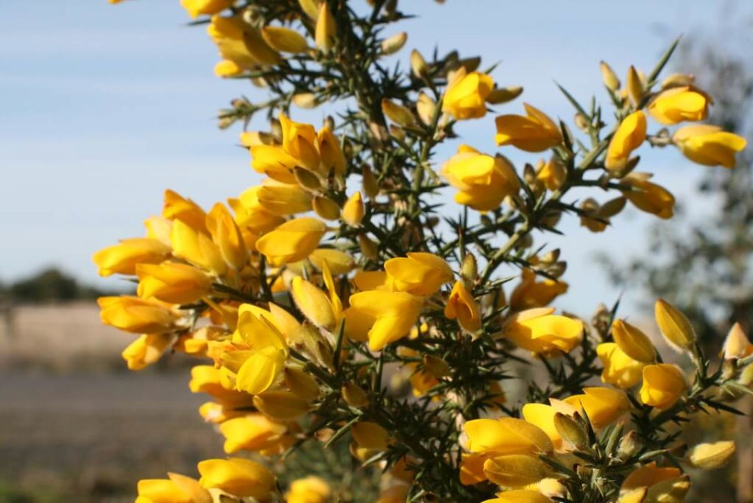 Ulex europaeus (Gorse) by Arthur Chapman is licensed under CC BY-NC-SA-2.0