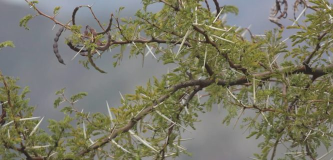 Vachellia karroo (Karoo Thorn) by Arthur Chapman is licensed under CC BY-NC-SA 2.0