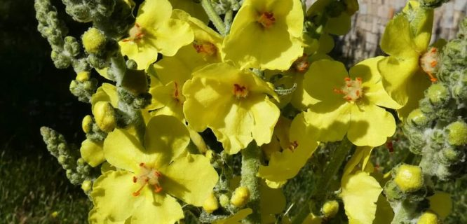 Verbascum_thapsus (gordolobo) flores by MAMM Miguel Angel is licensed under CC BY 2.0